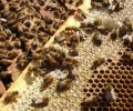 Varroa bestrijding